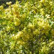 Ptaeroxylon obliquum flower mass
