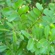 Ptaeroxylon obliquum foliage