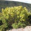 Ptaeroxylon obliquum shrub