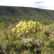 Ptaeroxylon obliquum veld