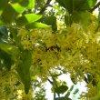 pteroxylon obliquum flower close