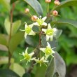 Putterlikia pyracantha flowers