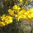 Rhigozum obovatum flower