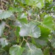 Rhoissus tomentosa foliage