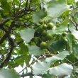 Rhoissus tomentosa fruit