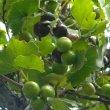 Rhoissus tomentosa fruit.