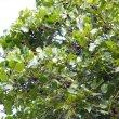 Rhoissus tomentosa fruit..