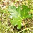 Rhoissus tomentosa leaf