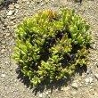 Rhombophyllum dolabriforme form