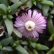 Ruschia lineolata flower