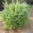 Salvia africana-lutea