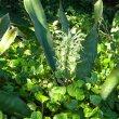 Sanseviaria hyacinthoides