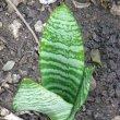 Sansevieria hyacinthoides hybrid Hani