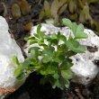 Sarcocaulon vanderietiae seedling