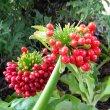 Scadoxus puniceus fruit