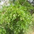 Schotia brachypetala foliage