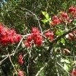 Schotia brachypetala branch