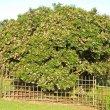 Schotia latifolia blooming