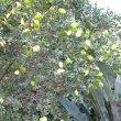 Schotia latifolia pods