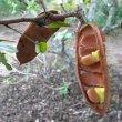 Schotia latifolia seeds