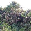 Schotia latifolia wild