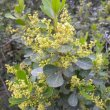 Searsia crenata flowers