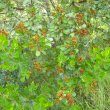 Searsia crenata fruit