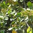 Searsia crenata fruit unripe