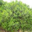 Searsia crenata young foliage