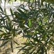 Searsia lancea leaves