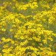 Senecio bupleuroides flowers