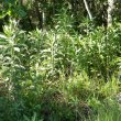 Senecio bupleuroides foliage