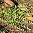 Senecio radicans growth
