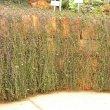 Senecio radicans Kirstenbosch