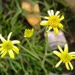 Senecio scaposus flowers