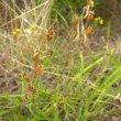 Silene burchelli var.angustifolia