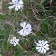 Silene capensis fl group