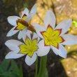 Sparaxis - garden hybrid