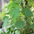 Sparmannia africana foliage