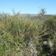 Strelitzia juncea habitat