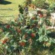 Lessertia frutescens flower mass
