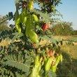 Lessertia frutescens pods