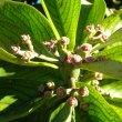Synadenium cupulare flower