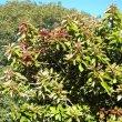 Synadenium cupulare foliage