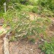 Tephrosia grandiflora