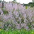 Tetradenia riparia flowers