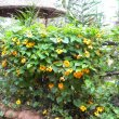 Thunbergia alata hedge
