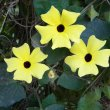 Thunbergia alata yellow