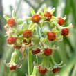Tulbaghia alliacea flower