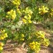 Vachellia karoo foliage